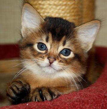 "Питомник котят сомалийской породы ""Сатилайн"""