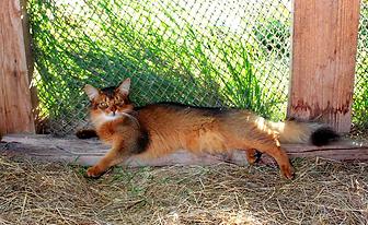 кошка сомали на природе