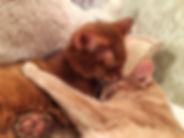 """кот и кошка сомали из питомника """"Сатилайн"""""""