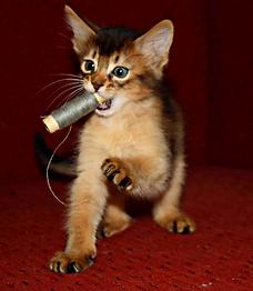 котенок сомали играет