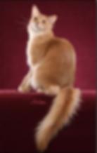 кошка сомали окрас фавн