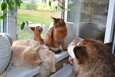 """кошки сомали из питомника """"Сатилайн"""""""