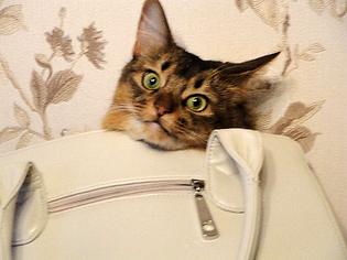 кошка сомали в сумке