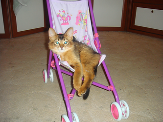 котенок сомали Атос