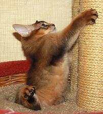 котенок сомали лазает