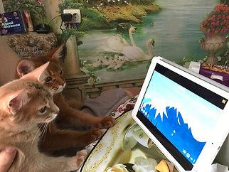 котята сомали за компьютером