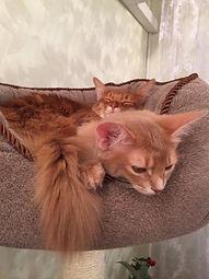 котята сомали вдвоем