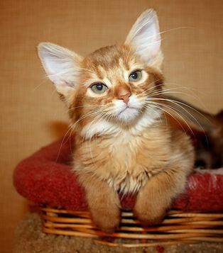Питомник котят сомали
