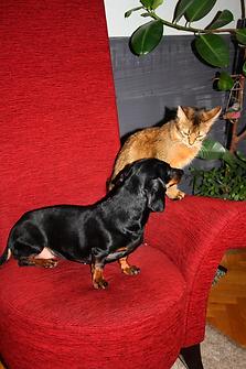 кошка сомали и такса