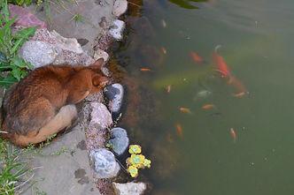 кошка сомали - рыболов