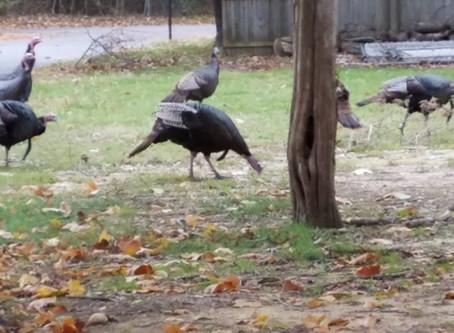 Turkeys!!