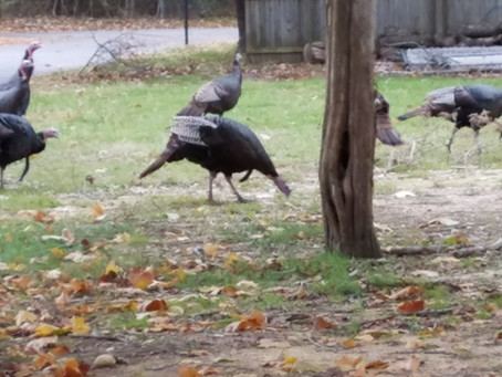 Turkeys!!