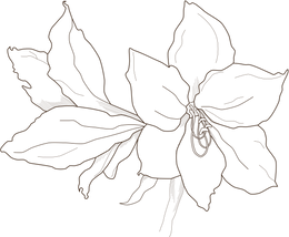 amaryllis.png