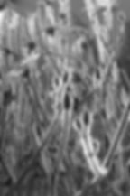 wildflowers, black and white