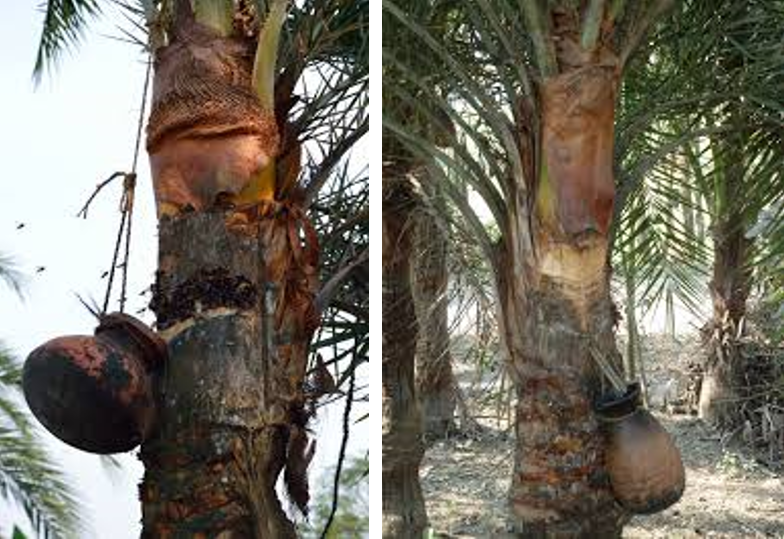 Collecting date palm sap in pots.