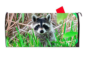Raccoon 1 Vinyl Magnetic Mailbox Cover.j