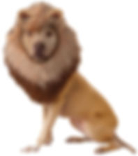 Pet Lion Costume.jpg