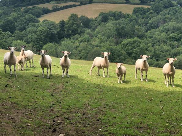 Local lambs