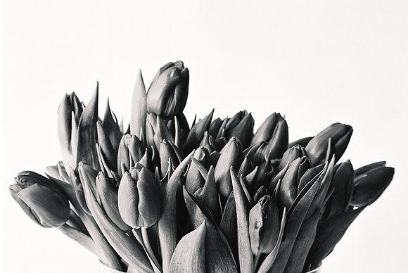 Carte postale Tulipa#1