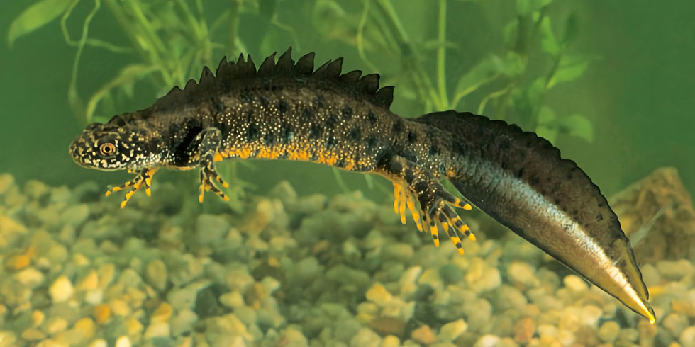 Great Crested Newts and the Mendip Ponds Project