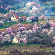 Balaton - Spring Cherry Trees - med.jpg