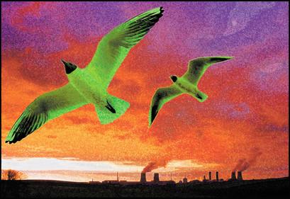 Gulls at Windscale.jpg