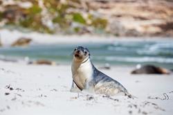 Southern-Ocean-Lodge_Kangaroo-Island_Seal_Bay-1024x682.jpg