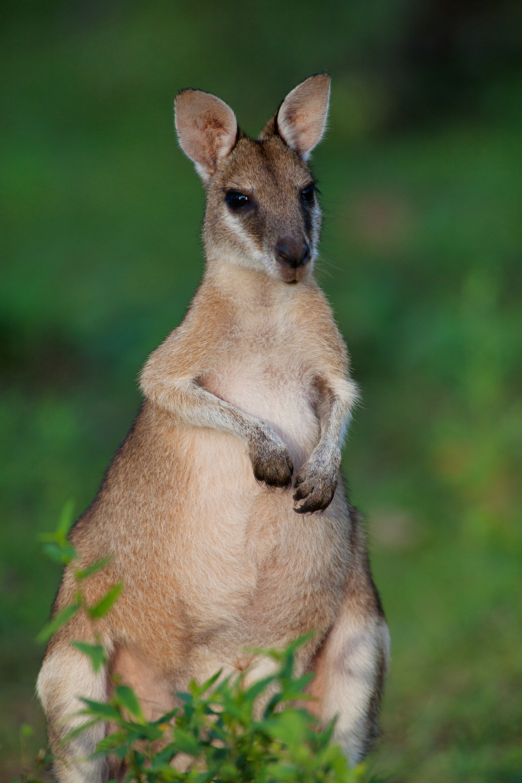 Bamurru-Plains_Top-End_Wallaby1.jpg