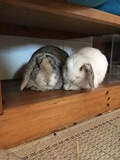Rabbit, rabbit behaviour, rabbit companinship, rabbit friends, house rabbits,