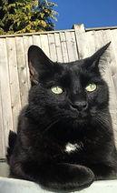 black cat, cat behaviour, cat behaviourist, feline, feline behaviourist, APBC, ABTC