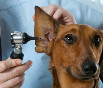 Vet-examining-ear-Thinkstock-122043798-335lc110512.jpg