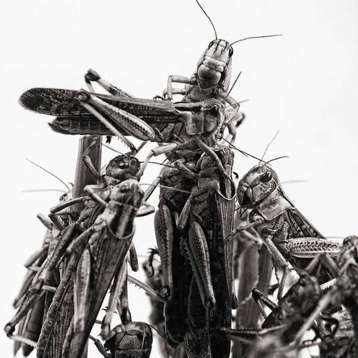 Locusta migratoria (?) 2014