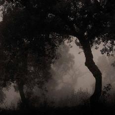 Quercus suber, Algarve, Portugal 2010