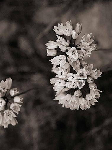 Allium roseum, La Clape  2009