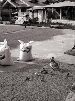 Poule et poussins au riz  Philippines 2011