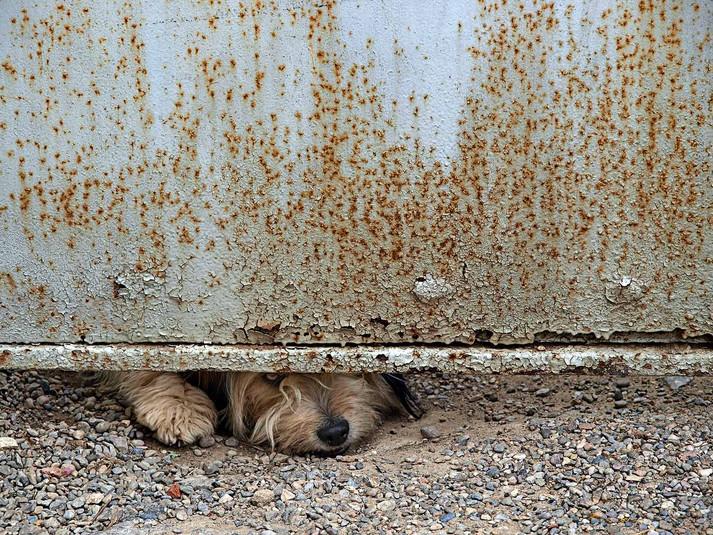 Canis lupus familiaris  2008