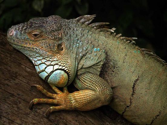 Iguana iguana  2018