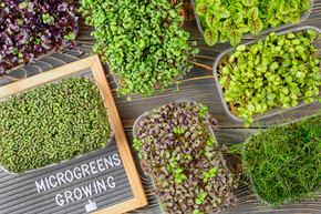 boxes with microgreens of red basil, Allium ramosum (Chinese chives), sorrel, cabbage, mustard, broccoli