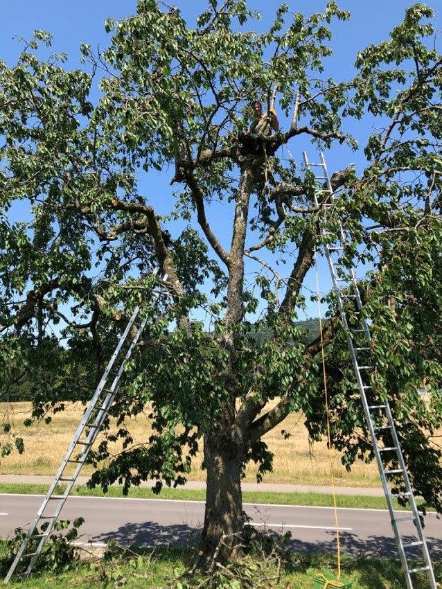 Baumpflege und Obstbaumpflege