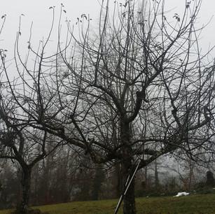 Obstbaumschnitt vorher.jpg