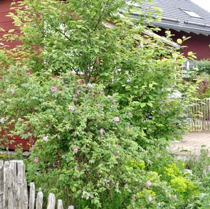 Artenreicher Vorgarten mit Traubenkirsch