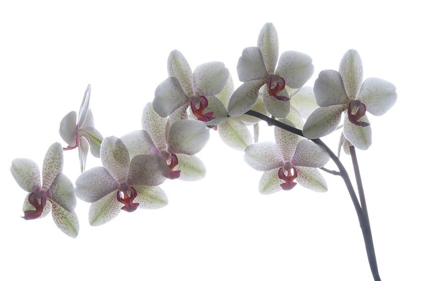 Orchidée_Blanche_et_Rose_Fond_Blanc.jpg