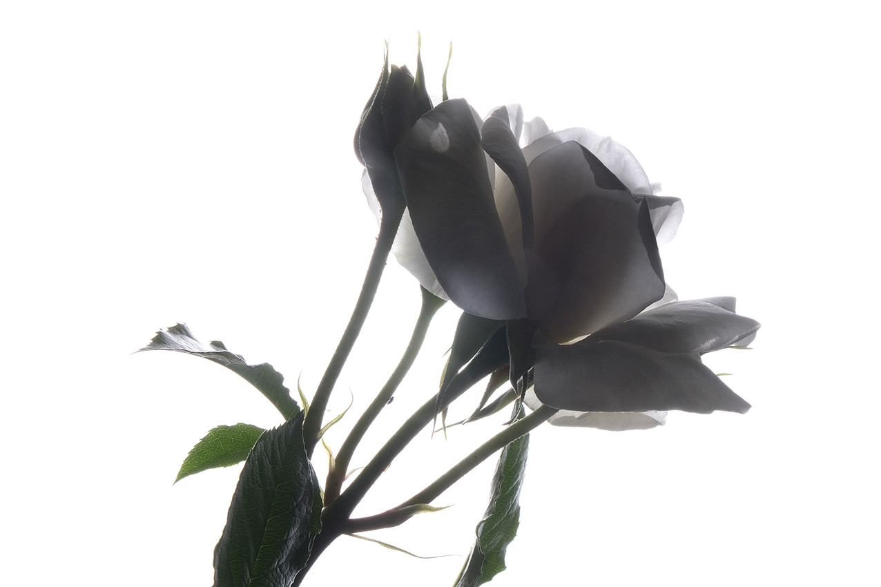 2019_05_Rose Blanche_Fond Blanc_03_wix.j