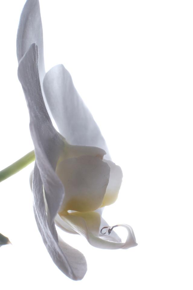 Orchidée Blanche Fond_Blanc_04.jpg