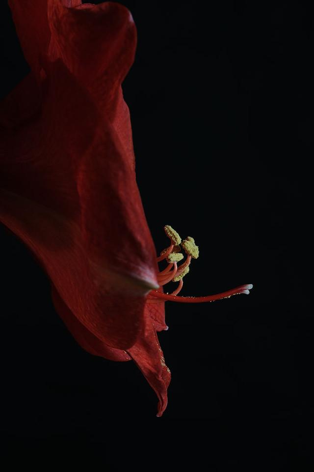 Amarillys-Rouge-Pistil.jpg