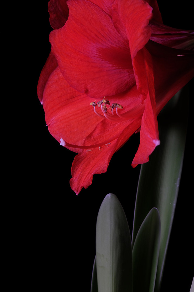 Amarilys Rouge Fond Noir