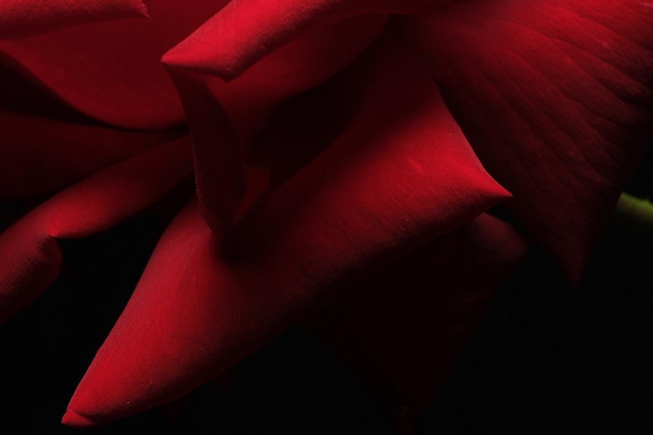 2019_06_Rose Rouge détail Pétalles_wix.j