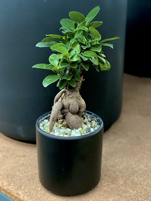Ficus Bonsai (US Shipping Only)