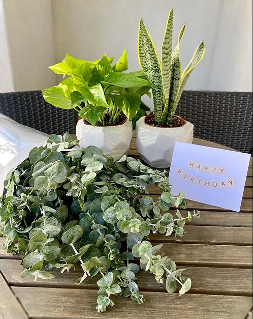 Gift Set - Two 4 inch plants   + Eucalyptus Bundle
