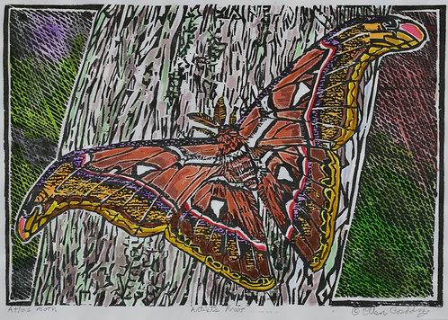 Corddry - Atlas Moth